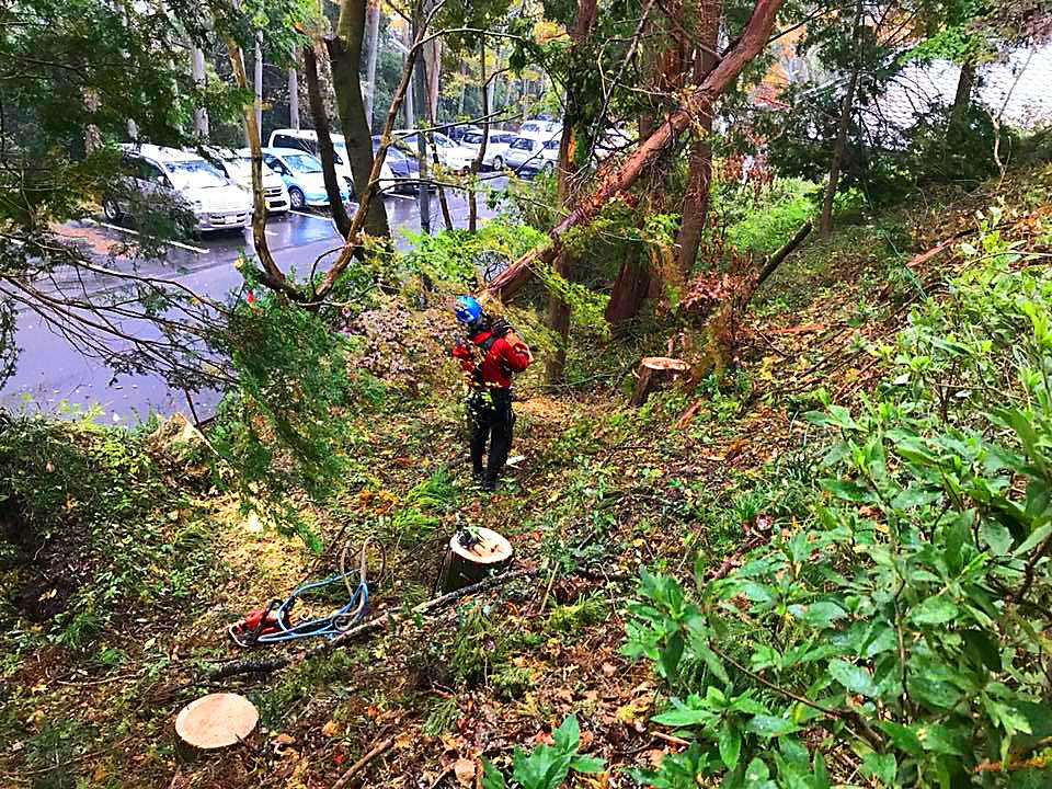 枯松の伐倒処理、風倒木処理、各種伐採